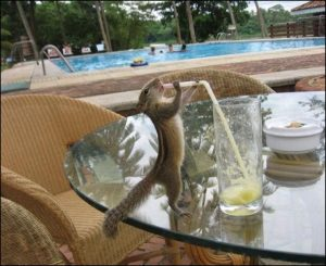 chipmunk drinking